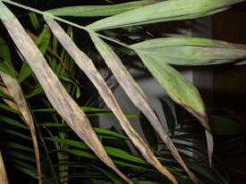Maladies des palmiers cochenilles araign e rouge for Maladie palmier interieur